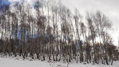 Leafless birch trees swinging in the wind someday dreary winter Stock Footage