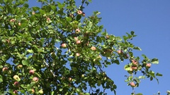 Red ripe apple and leaves on fruit tree twigs on blue sky background. Zoom out Stock Footage