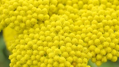 The yellow flower from a small plant in the garden Stock Footage