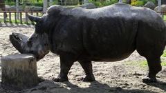Rhinoceros in zoo Stock Footage