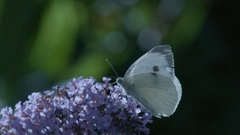 Large White Butterfly on Buddleia Stock Footage