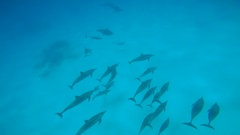 Dolphins mating season. Fascinating underwater diving with the dolphins. Stock Footage