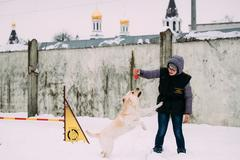 Young woman is engaged in dog training. Dog agility. Labrador Dog Stock Photos