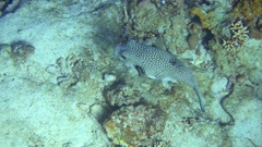 Puffer fish swims on the Red Sea. 4K video. Stock Footage