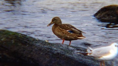 The mallard or wild duck (Anas platyrhynchos) is a dabbling duck Stock Footage