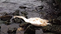 Young Swan died. Dead bird on the beach Stock Footage