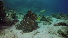 Red sea octopus egypt diving dahab Stock Footage