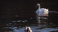 Swan swimming in river, ducks swim past. Reflection in water. Calm, tranquil Stock Footage