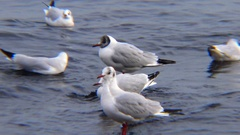 Birds of Ukraine. Swans and gulls in the Black Sea. Larus canus, Cygnus olor Stock Footage