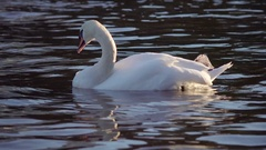 Beautiful swan swimming in river. Reflection in water. Calm, peaceful, romantic Stock Footage