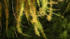 Fir Tree Twigs Waved With Windflaws. Stock Footage
