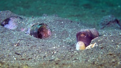 Coconut Octopus (Amphioctopus marginatus) next to a bottle in the sand Stock Footage
