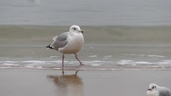 One Walking Seagull on a Seashore. Slow Motion. on Background Falling Waves. Stock Footage
