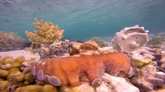 Underwater Big Red Octopus with Blue water Stock Footage
