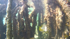 Fish in Mangrove roots in a shallow water. Cuba Stock Footage