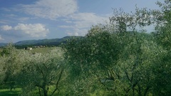 View on Vineyard from Olive Orchard in Tuscany - 29,97FPS NTSC Stock Footage