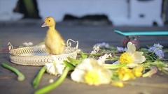Little yellow duckling in sunlight reflexion Stock Footage