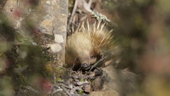 Adorable Echidna looking for food and hiding Stock Footage