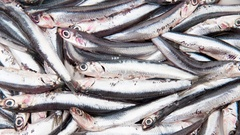 Fresh anchovy seafood background Stock Footage