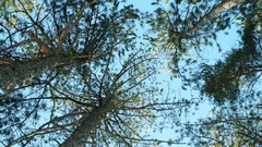 Forest, tops of the trees in the forest, pine trees, spruce against the blue sky Stock Footage
