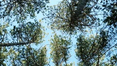 Lots of trees pine trees, spruce against the blue sky, forest, tops of the trees Stock Footage