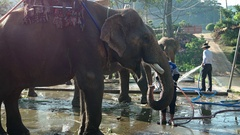 Elephant Drinks Water from a Hose at an Animal Encounter Tourist Facility Stock Footage