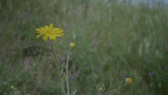Wild Yellow Daisy Background - 29,97FPS NTSC Stock Footage