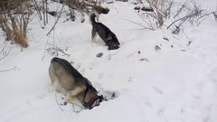 Two Siberian Husky digs a pit in search of mice. Stock Footage
