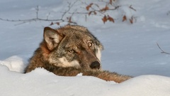 Close up of wolf resting in the snow in winter and looking backwards to camera Stock Footage