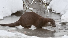 River otter on ice of frozen river and drinking water in the snow in winter Stock Footage