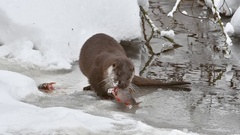 River otter (Lutra lutra) eating fish on frozen river in the snow in winter Stock Footage