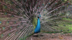 The Indian Peafowl Spreading His Decorative Tail Stock Footage