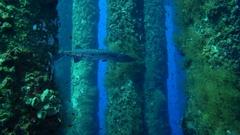 Barracuda under oil and gas platform rig Stock Footage