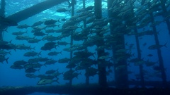 Large school of amberjack under oil gas rig platform Stock Footage