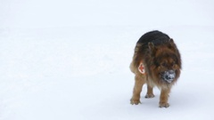 Red Cross rescue dog searching Stock Footage