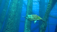 Sea turtle swims under oil and gas platform  Stock Footage