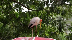 Portrait of a Yellow-Billed Stork Stock Footage