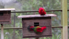 Chattering Lory Stock Footage