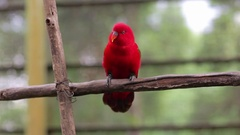Chaterring Lory Cleans Its Beak on a Tree Branch Stock Footage
