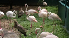 Group of Pink Flamingos Standing Near a Pond Stock Footage