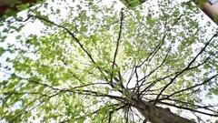 Steadycam shot around the tree to the sky Stock Footage