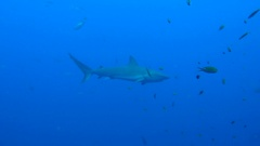 Shark under oil gas platform rig Stock Footage