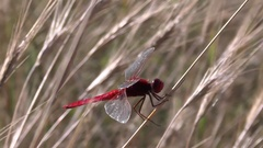 Red dragonfly Scarlet Darter Crocothemis erythraea hunting, catching and devours Arkistovideo