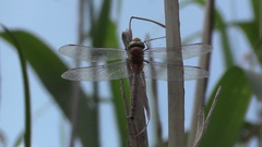 Insect dragonfly female Black-tailed skimmer, Orthetrum cancellatum Stock Footage