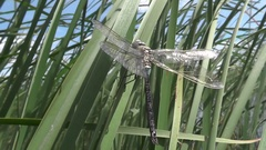 New emerged dragonfly male Black-tailed skimmer, Orthetrum cancellatum Stock Footage