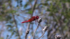 Red dragonfly Scarlet Darter Crocothemis erythraea rotates the head compound eye Stock Footage
