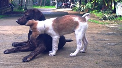Puppy playing with an adult dog around the house in the summer 1 Stock Footage