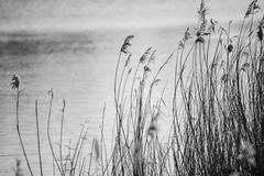 Beautiful black and white landscape image of reeds in Winter lake Stock Photos