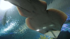 Shovelnose Ray (Glaucostegus typus) in special tank, bottom view Stock Footage