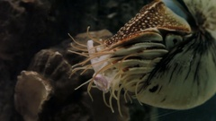 Chambered Nautilus (Nautilus pompilius), one of the living fossils which existed Stock Footage